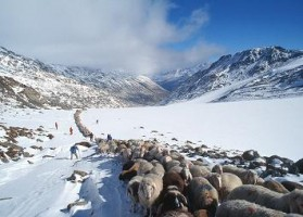 Migration of the sheep - Val Senales